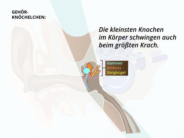 Aufbau des Ohres / Ohrknoechelchen