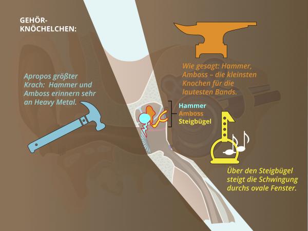 Aufbau des Ohres / Hammer Amboss Steigbuegel