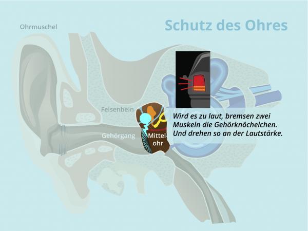 Schutz des Ohres / Mittelohrreflex